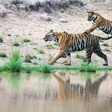 For the first time in 100 years, tiger numbers are growing