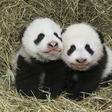 Panda twins will be called Fu Ban and Fu Feng