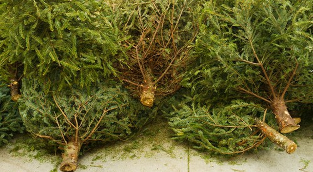 Vienna collects old Christmas trees to be used for heating and producing electricity