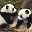 The panda twins are 5 month old