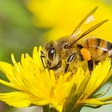 Saving the bees: Cheerios is sending out packs of 500 free wildflower seeds