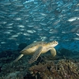 WWF's Living Blue Planet Report:  more than 90 fish species are on the brink of extinction