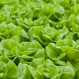 Sustainable farming: world's first fully automated lettuce-producing farm
