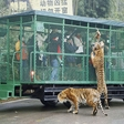 Zoo in China puts visitors in cages