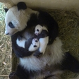 The search for panda names begins