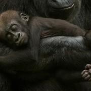 gorile-u-nizozemskom-zooloskom-vrtu-apenheul-natureplcom-_edwin-giesbers_wwf