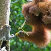 kriticno-ugrozeni-javanski-makaki-pokusava-uzeti-bananu-od-sumatranskog-orangutana-u-indoneziji-natureplcom_suzi-eszterhas_wwf