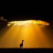 silueta-masajske-zirafe-u-keniji-natureplcom_andy-rouse_wwf