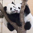 Panda twins are half year old today