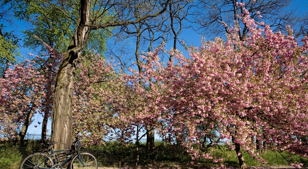 The first HANAMI, the Cherry blossom ride, is coming to Ljubljana