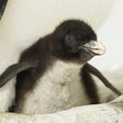 Northern rockhopper penguin babies born!